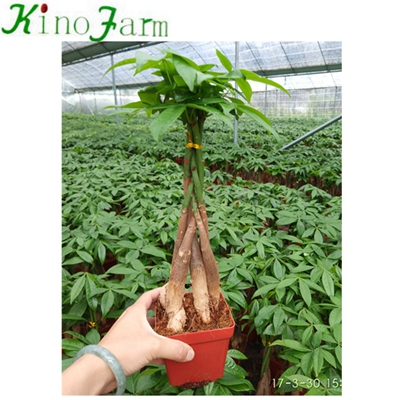 Single Head Plant Pachira