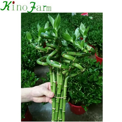Spiral Lucky Bamboo Sanderiana Plant