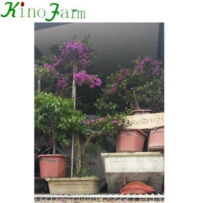 Living Plant Outdoor Bougainvillea