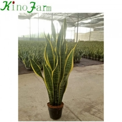 Large Tall Snake Plant