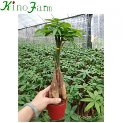 Money Tree Pachira Aquatica