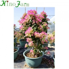 bougainvillea pink and white