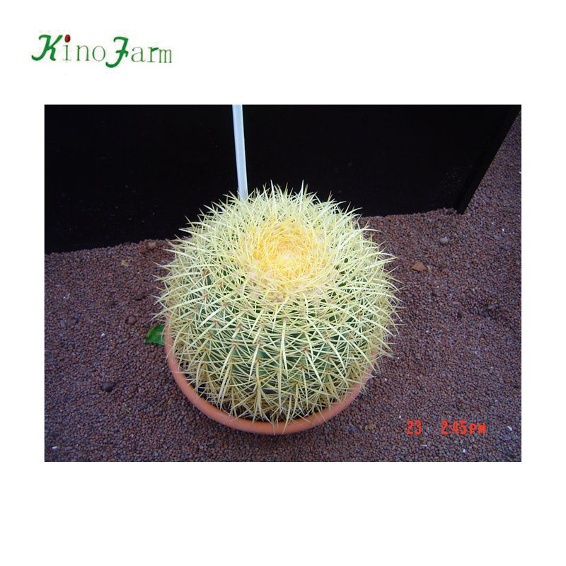 Golden Barrel Cactus Export to Europe